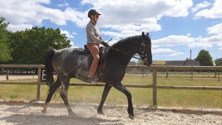 For a few Dollars more - Rocky Mountain Horse Wallach zu verkaufen