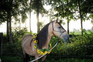 "Tennessee Walking Horse Deckhengst ""Pride's Magic Potion"""